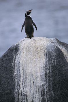 A Peruvian, penguin on a rock ... <3 www.24kzone.com