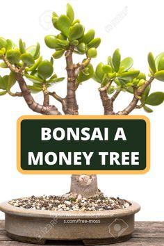 Discover the Art of Bonsai an Ancient Japanese Art Of Imitating Nature in miniature. This Video shows a very easy way to introduce you to simple Bonsai technique using the lucky money tree. The Money Tree is also known as the Jade tree and reacts well to pruning,this video shows a plant that is over 20 years old.  #bonsai #japaneseart #indoorplants #interiordesign #bonsaimoneytree #plantideas #desktopplants #homeofficeplants #japanesebonsai #jadeplant Money Tree Bonsai, Money Trees, Buy Moss, Jade Bonsai, Jade Tree, Ancient Japanese Art, Bonsai Styles, Money Plant, Jade Plants