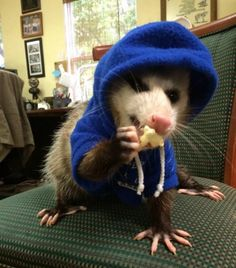 adorable possum wearing a blue hoodie
