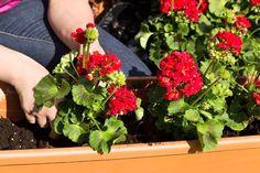 Čo s muškátmi pred zimou Herbs, Vegetables, Plants, Gardening, Flowers, Lawn And Garden, Herb, Vegetable Recipes, Plant