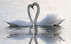 Beatiful Swans are Finlands national bird. At spring you could see these birds in open water.