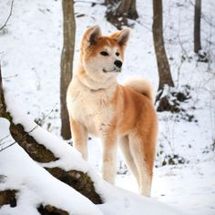 SHIBA INU. One of my favorite dog breeds. Gorgeous and unique fella. Great WI dog