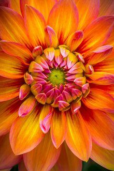 Shade Garden Flowers And Decor Ideas Raspberry Creamsicle Dahlia Orange Flowers, My Flower, Beautiful Flowers, Orange Pink, Dahlia Flowers, Flower Close Up, Exotic Flowers, Flower Photos, Planting Flowers