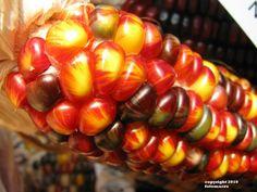 Multi-colored Harvest Corn