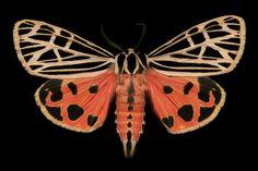 Virgin Tiger Moth. Photo Jim de Riviera