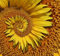 another spiral sunflower!
