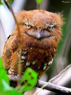 The Sunda frogmouth, Batrachostomus cornutus, from Indonesia. Frogmouths are nocturnal birds related to nightjars, and are found from the Indian Subcontinent across Southeast Asia to Australia. ~via ѕανє συя gяєєη, FB--bull! Beautiful Owl, Animals Beautiful, Cute Animals, Pretty Birds, Love Birds, Brunei, Nocturnal Birds, Audubon Birds, Funny Birds