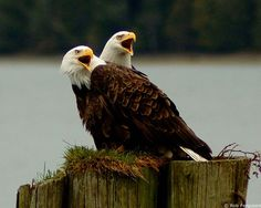 Welcome to Ucluelet! Pair of bald eagles, Pacific Rim. Pacific Rim, Pacific Northwest, Ucluelet Bc, Discovery Island, Bowen Island, West Coast Trail, Vancouver Island, British Columbia, Beautiful Creatures