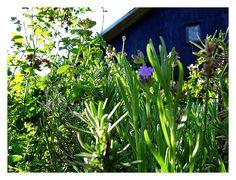 Herbs in Gaja Garden, Poland, by Livia Ether Flow  https://gajagarden.wordpress.com/