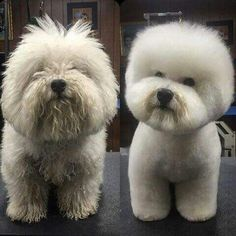 11 Glorious Before-and-after Photos Of Dog Makeovers on Amazing Dog Photo Ideas 3801 Teddy Bear Poodle, Dog Grooming Styles, Grooming Dogs, Animals And Pets, Cute Animals, Poodle Hair, Pet Spa, Dog Photos, Small Dogs