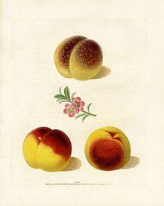 Royal Garden, Lust For Life, Vintage Botanical Prints, Stippling, Botanical Illustration, The Hamptons, Peach, Illustrations, Fruit