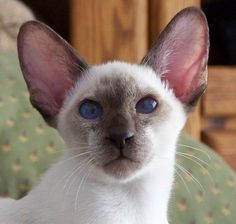 Modern Siamese Tap the link Now - Luxury Cat Gear - Up to off and Free Worldwide Shipping! Check out our Cat Simease Cats, Siamese Kittens, Cute Kittens, I Love Cats, Cool Cats, Oriental Shorthair Cats, Best Cat Breeds, Himalayan Cat, Oriental Cat