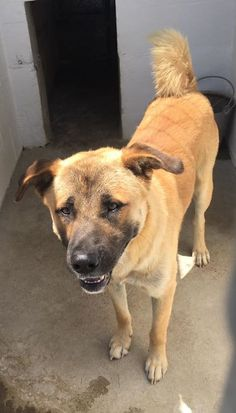 05/25/17-HANDSOME HENRY!!  Look at that face!! What a hunk of burnin' love right there! Maybe a mastiff/ shepherd mix? This guy is a ham! Such a big teddy bear!  Available 5/26 for adoption or rescue  K28  Nueces County Animal Control   Call coordinator at 410-608-2195