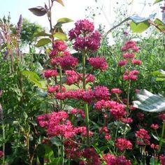 Rode valeriaan - Centranthus ruber