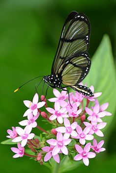 Glass-wing [Greta too] - a brush-footed butterfly - on pink Pentas; by jungle mama