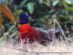 Satyr Tragopan (Male) by Glen Valentine - Rockjumper Worldwide Birding Adventures