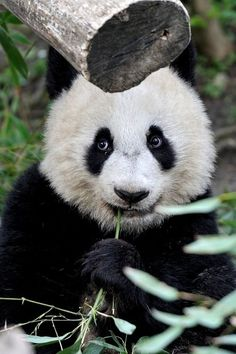 there is a new baby panda born at the National Zoo in Washington. congratulations to Mom and to all panda lovers! Nature Animals, Animals And Pets, Cute Animals, Wild Animals, Panda Love, Cute Panda, Beautiful Creatures, Animals Beautiful, Pet Birds