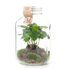 Green Lifestyle Store Kamerplant Coffea Arabica in Weckpot - DIY Pakket