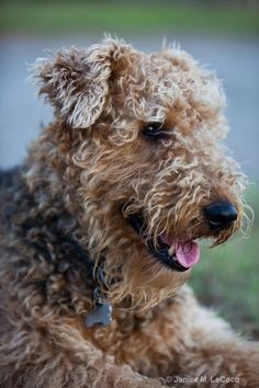 Zac Is such a darling Airedale, with his scruffy good looks. So darling