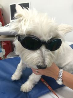 """""""Oliver"""" posing before his Therapy Laser at Guilderland Animal Hospital."""