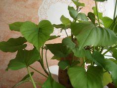 J'ai lu quelque part que planter une patate douce pouvait donner une belle et grande plante très rapidement. C'est une plante potagère, donc ce feuillage est éphémère, mais elle donne un très beau feuillage jusqu'en automne. Il faut démarrer simplement...