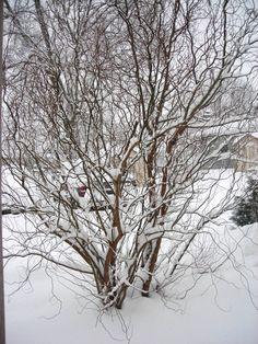 Corkscrew Willow Tree In The Garden The Antique Garden Winter Plants Willow Tree Winter Holidays