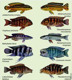 Parallel Evolution of African Lake cichlids: Lake Tanganyika (L) and Lake Malawi (R)