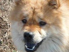 Cinnamon is an adoptable Chow Chow Dog in Franklin, TN.  ...