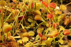 Мухоловки в ботаническом саду в Глазгоу США. = Venus flytraps in the Kibble Palace Botanical Gardens Glasgow David Plews = #мухоловка #венеринамухоловка #dionea #Dionaeamuscipula #dionaea #venusflytrap #flytrap #plantswithbite #carnivorousplant #carnivores #carnivoroustagram #carnivorous