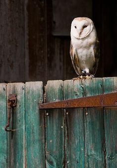 Barn owl.  They are a good thing to have around:)  What a beautiful image this is with the color of the gate he is sitting on!