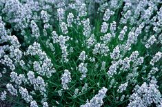 Lavandula angustifolia 'Nana Alba' -- 'Nana Alba' is a bushy compact evergreen shrub to 30cm, with narrow grey leaves and white flowers in short spikes in late summer