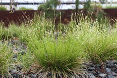 Landscape Carex Eburnea Common names: , ivory sedge   Hardy to -50 degrees Dry to medium soil Light requirement: Some sun to full shade Mature size: 6 to 12 inches tall and 1 foot wide