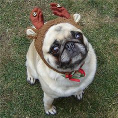 Our Bailey Puggins the Compact Reindeer