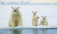 Polar bears in Norway