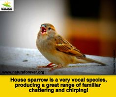 Raising Of Sparrow Pictures : sparrows # water # facts # conservation more water facts sparrows ...