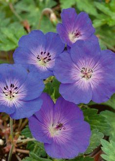 Géranium Vivace Rozanne ®, en fleur de mai à octobre. Cette plante vivace produit de grandes fleurs bleues veinées de pourpre à large coeur blanc. idéale en couvre-sol