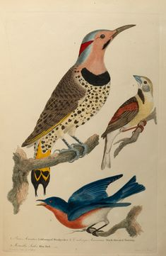 Hand-colored folio engraving made from original copperplates. From Alexander Wilson and Charles Lucian Bonaparte's American Ornithology, 1871