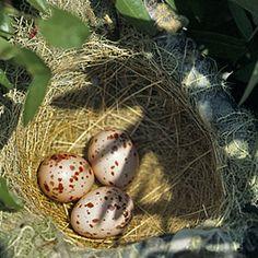 Black-headed oriole nest with eggs, Mutinondo,  Zambia