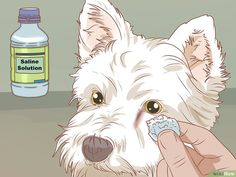 3 Ways to Remove a Tear Duct Stain . The post How to Remove a Tear Duct Stain from White Dogs appeared first on Dogs and Diana. Tear Stain Removal Dogs, Dog Tear Stains, Dog Grooming Business, Pet Grooming, Grooming Salon, Maltese Dogs, Dogs And Puppies, Baby Dogs, Westies