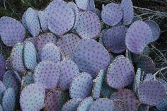 Purple Pear Cactus - Rebecca Watkins