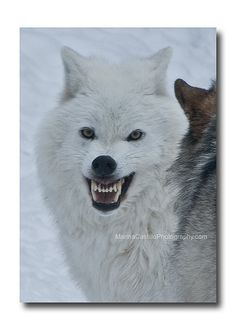 Wolves of Ely, Minnesota by marina castillo