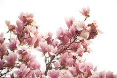 CherryBlossoms_20110403_8761