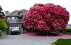 """Year Old Rhododendron """"Tree"""" In Ladysmith, British Columbia, Canada. This huge rhododendron is technically not a tree – most are considered to be shrubs. Trees And Shrubs, Flowering Trees, Trees To Plant, Rhododendron, Plantation, Dream Garden, British Columbia, The Great Outdoors, Garden Landscaping"""