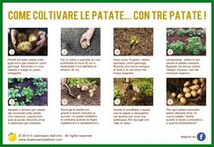 Come coltivare le patate... co tre patate!