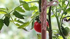 Simply snap off summer suckers from your favorite tomato varieties, root them and plant them.