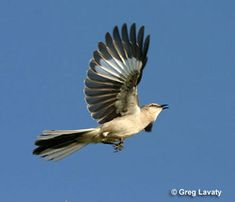 mockingbird flying - Google Search - Arkansas state bird, for Mia who was born there