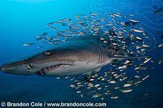ph0102-D. Sand Tiger Shark (Carcharias taurus) with baitfish, near shipwreck. horizontal
