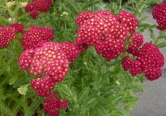 Butterflies can't resist this one! Achillea 'Strawberry Seduction' (Yarrow)