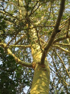 If only it were possible to hug a thorn tree! Acacia xanthophloea (Fever tree).