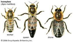 http://2.bp.blogspot.com/-BybYhUP1ZHE/TbwJdOiPyAI/AAAAAAAAAgU/AsEcnw8go80/s1600/HONEY+BEES.jpg